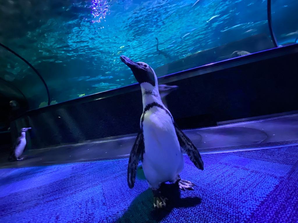 Penguins exploring the halls of Ripley's Aquarium