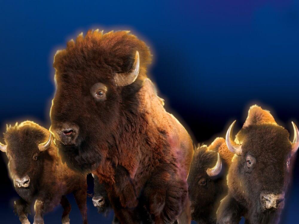 Dixie Stampede Buffalo