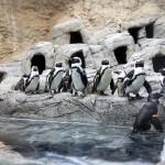 Ripley's Aquarium of the Smokies Penguin Beach