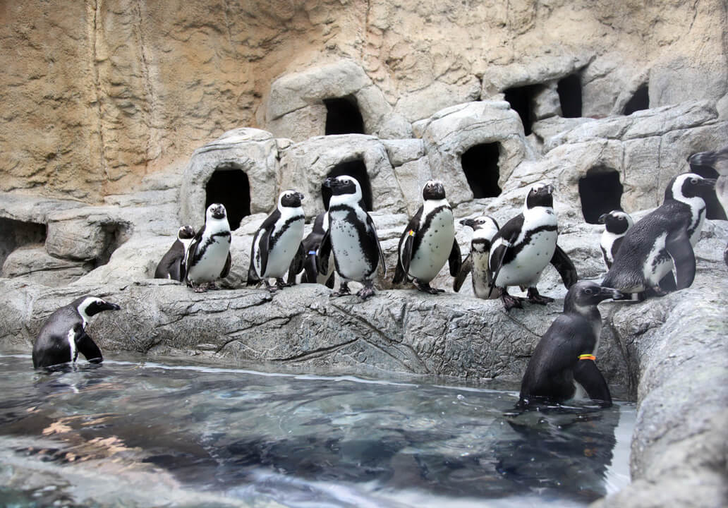 Ripley's Aquarium of the Smokies Penguin Beach