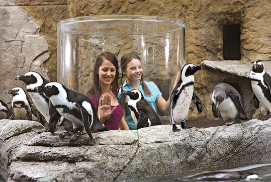 Ripley's Aquarium of the Smokies Penguin Periscope