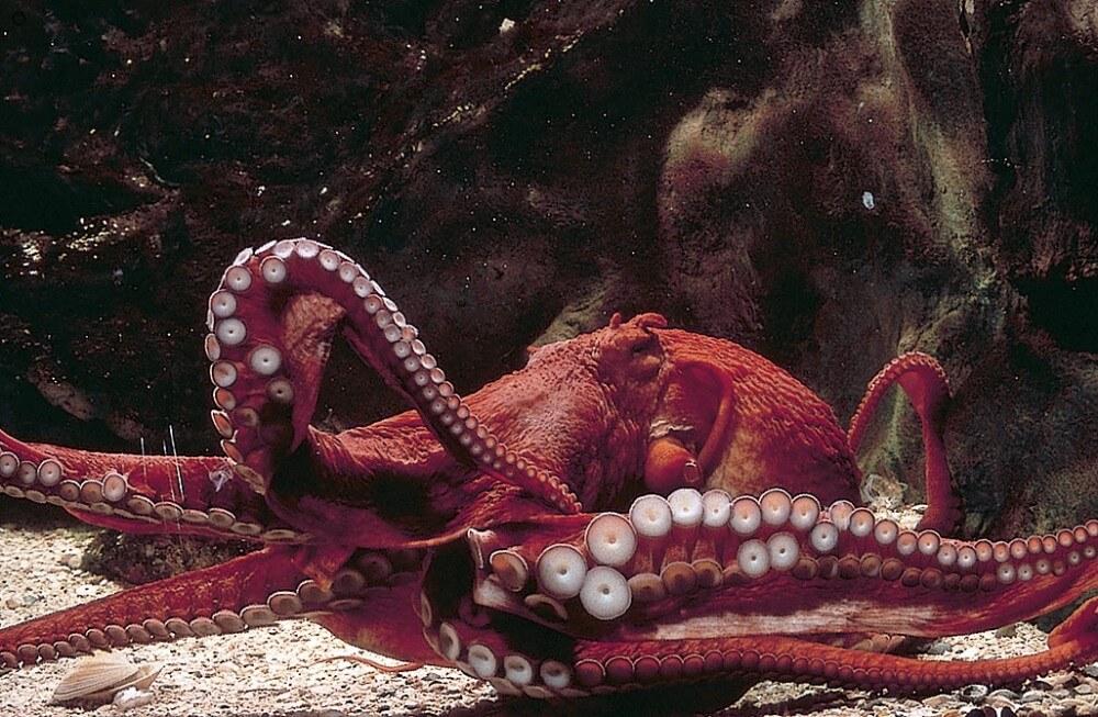 Ripley's Aquarium Octopus