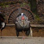 Smoky Mountain Riding Stables Turkeys