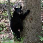 Smoky Mountain Riding Stables Black Bear Tree