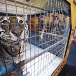 Smoky Mountain Opry 2015 Show Tiger