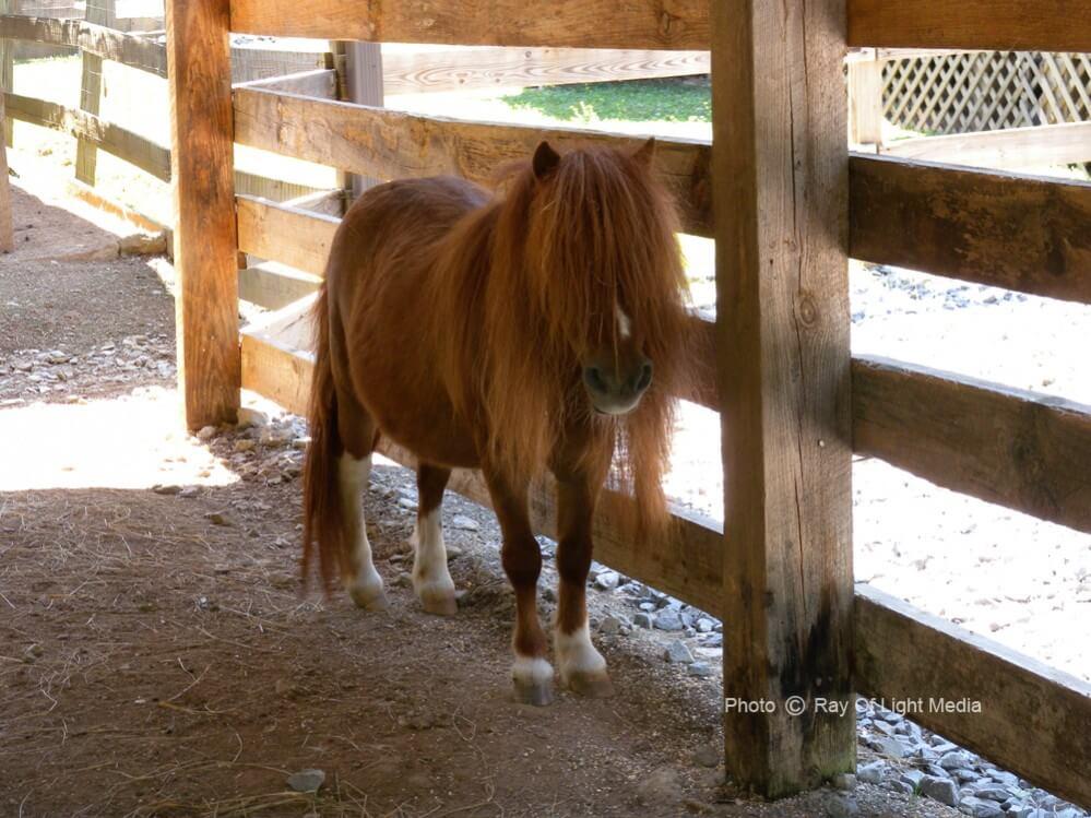Big Rock Dude Ranch at Ponderosa Miniature Horse