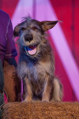Comedy Barn Dog