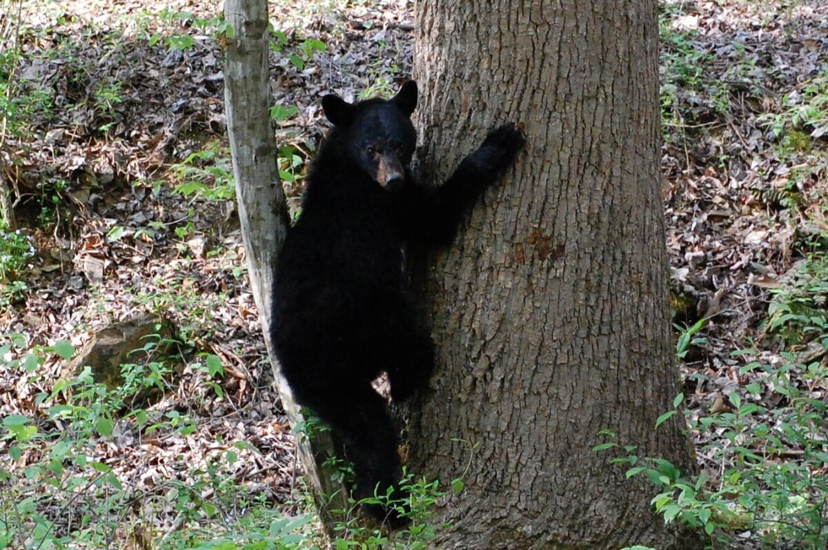 Smoky Mountain Riding Stables Black Bear Tree