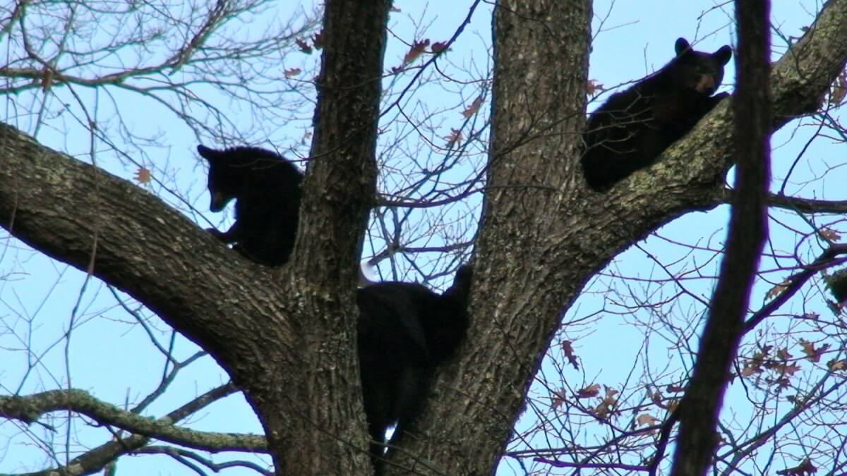 Smoky Mountain Riding Stables Black Bears in Tree