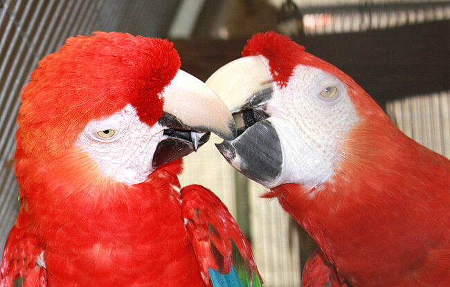Parrot Mountain Macaw