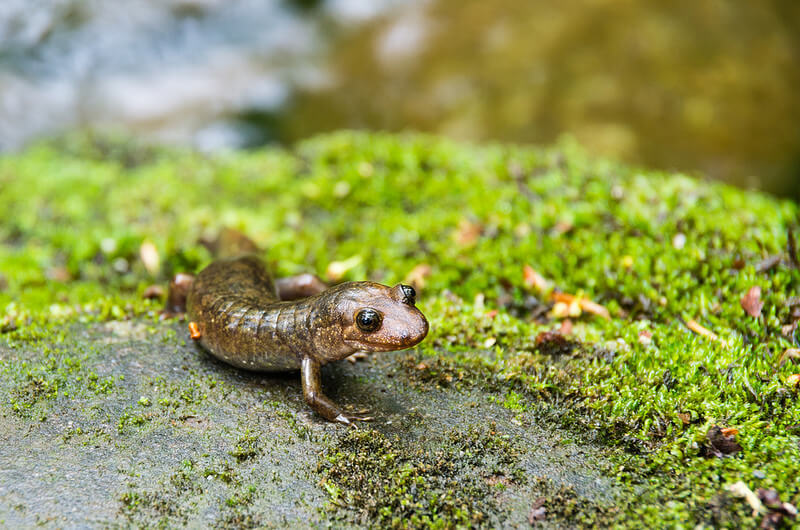 Salamander in the Great Smoky Mountains National Park