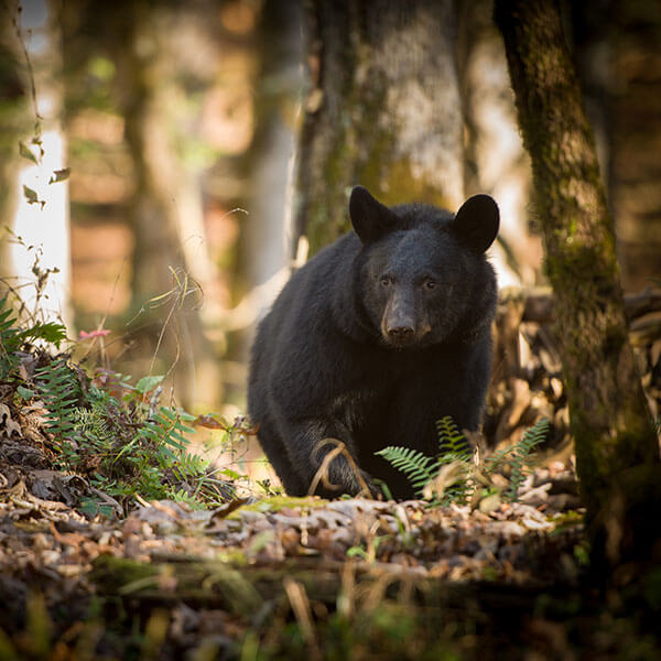 Smoky Mountains Black Bear
