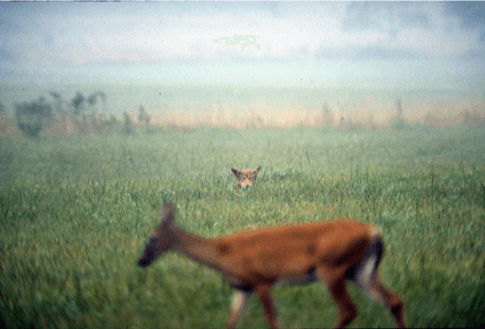 Fox spies on deer in Cades Cove