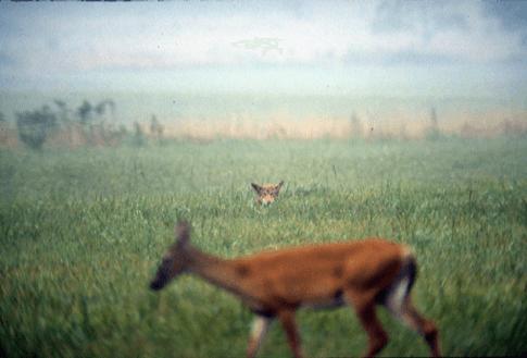Fox spies on deer in Cades Cove