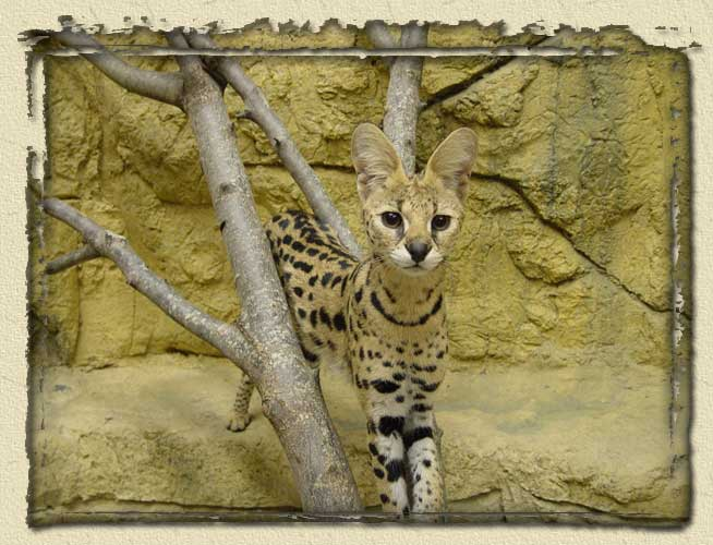 This large cat is one of over 600 animals at RainForest Adventures in the Greaty Smoky Mountains